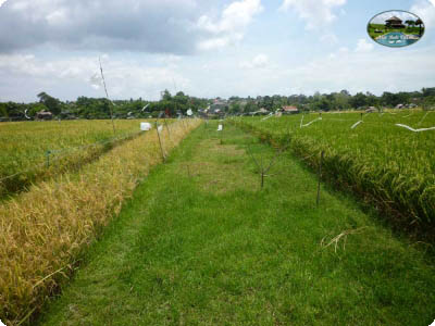 photo: 50-are freehold land for sale in Canggu, Bali