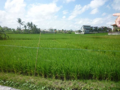 photo: 168-are land for lease in Berawa, Bali